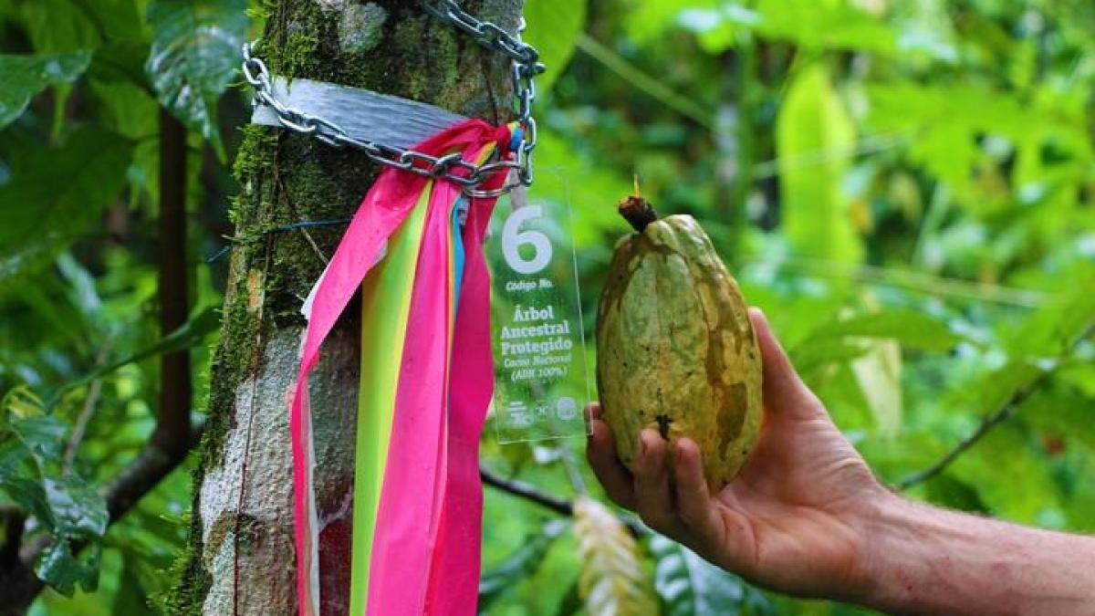 arvore do cacau  no vale piedra de plata equador com etiqueta de preservação